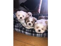 Shih Tzu X Maltese Puppies (Malti Shi)