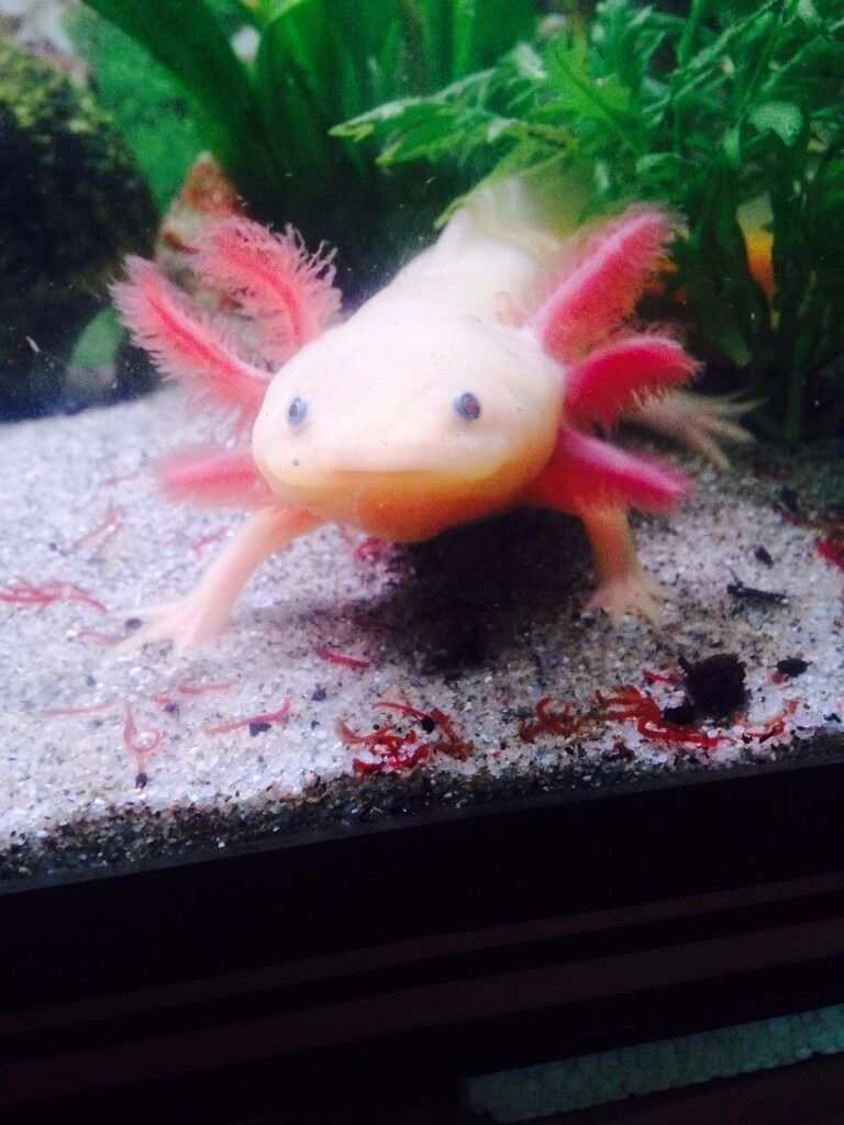 Axolotl mexican walking fish white and pink in for Mexican walking fish
