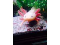 Axolotl, Mexican walking fish, white and pink