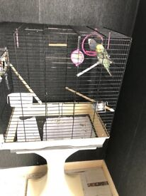 Budgies for sale with cage and stand.
