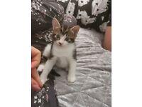 Beautiful kitten for sale, 6weeks , male