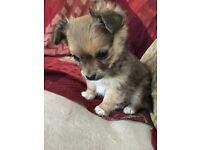 Only 1 Left! Adorable Shih Tzu/Jack Russell Boy Puppy 9 weeks