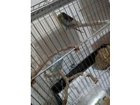 3 budgies for sale with cage