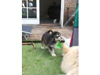Pedigree KC registered Alaskan Malamute Puppies for sale