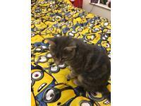 Russian taby kitten