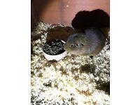 Male Guinea Pig Needs a New Home