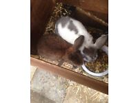 RABBITS WITH HUTCHES FREE**