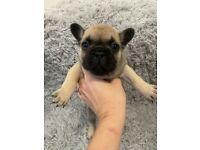 BEAUTIFUL QUALITY FRENCH BULLDOG PUPPIES