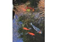 Japanese Koi and gold fish for sale