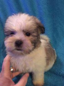 Maltease Shih-tzu pups for sale £290 ono
