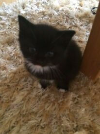 Kittens for sale ONE LEFT!