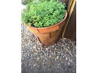 Potted oregano plant. WILL DELIVER