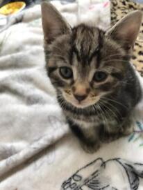 Boy grey tabby 8 weeks old