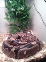 3  year old female ball python, tank and acessories