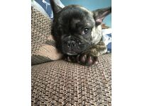 French bulldog reverse brindle for sale
