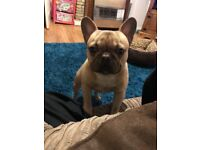 12 month old French bulldog