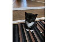 adorable kitten boy £350