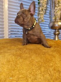 Lovely French Bulldog Puppies Ready Today