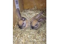 Looking for someone to love and care and re home my 2 rabbits.