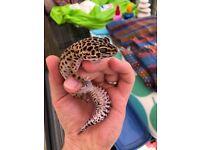 Leopard Gecko w/ Vivarium & all accessories