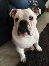 8 MONTH OLD MALE BULLDOG sadly needs rehoming through no fault of his own