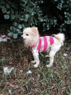 JACKSTER POMERANIAN 14 YEAR OLD FOSTER OR ADOPT. Wanneroo Wanneroo Area Preview