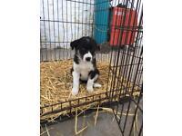 Border Collie Bitch Puppy