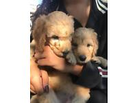 Labradoodle pups from the Kimberlene bloodline, 2 girls left, ready to go 18th Aug