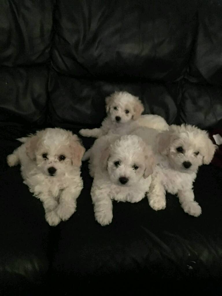 Bishon frise 1 boy puppy left