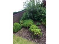 Shrubs free for collection