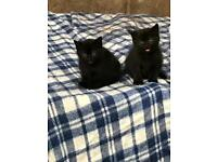 **Kittens For Sale**