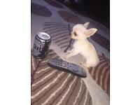 Smooth chihuahua pups