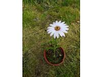 Small creeping wall daisy