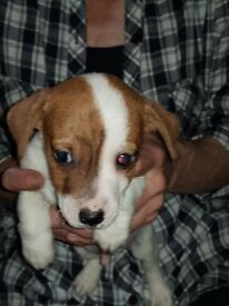 3/4 jack russell pups