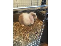 Rabbit for sale with cage
