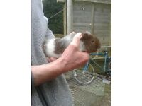 Handsome little Teddy guinea pig boar ready now