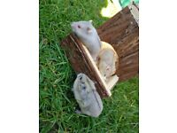 Well tamed Russian dwarf hamsters