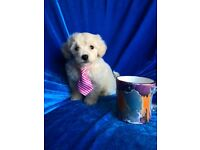 Ready now Maltipoo puppy maltese poodle pup small dog stunning champagne teddy bear pRA ideal pet