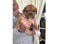 Dogue De Bordeaux x English bulldog puppies