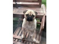 18 month old Male Pug