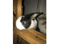 BLACK / WHITE SPLIT - pure mini lop ready to leave now