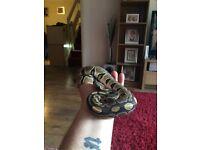 Royal python and corn snakes