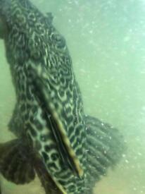 Largeplec fish