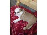 British bulldog puppy girl kc registered fawn and white ready now !