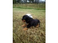 Rottweiler Puppies female and male