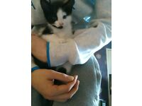 4 black and white male kittens
