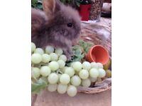 Lionhead fluffy bunnies for sale