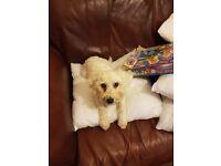 Male Bichon pup