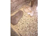 Two male adult guinea pigs for sale