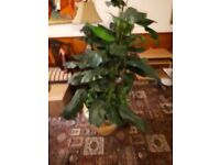 Fake indoor plant - 5ft 8 (With pot).